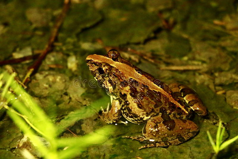 Anatomia żaby, zwierzęta, amfibie obraz stock