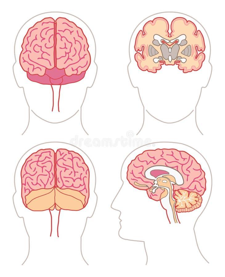 anatomia (1) mózg ilustracji