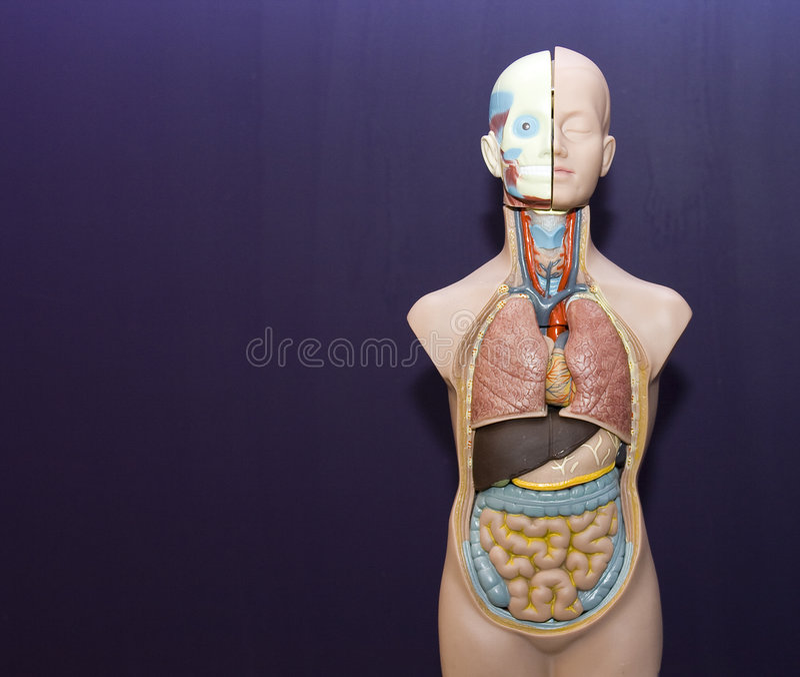 Anatomia fotografia stock