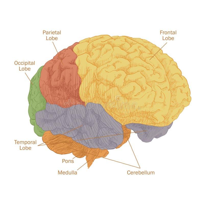 Anatomia da cabeça do cérebro humano ilustração do vetor