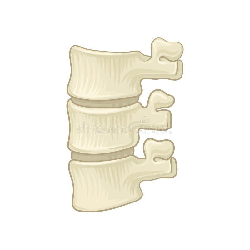 Anatomia da espinha lombar Peça da espinha dorsal humana Ossos vertebrais e discos intervertebral Projeto para educacional ilustração do vetor