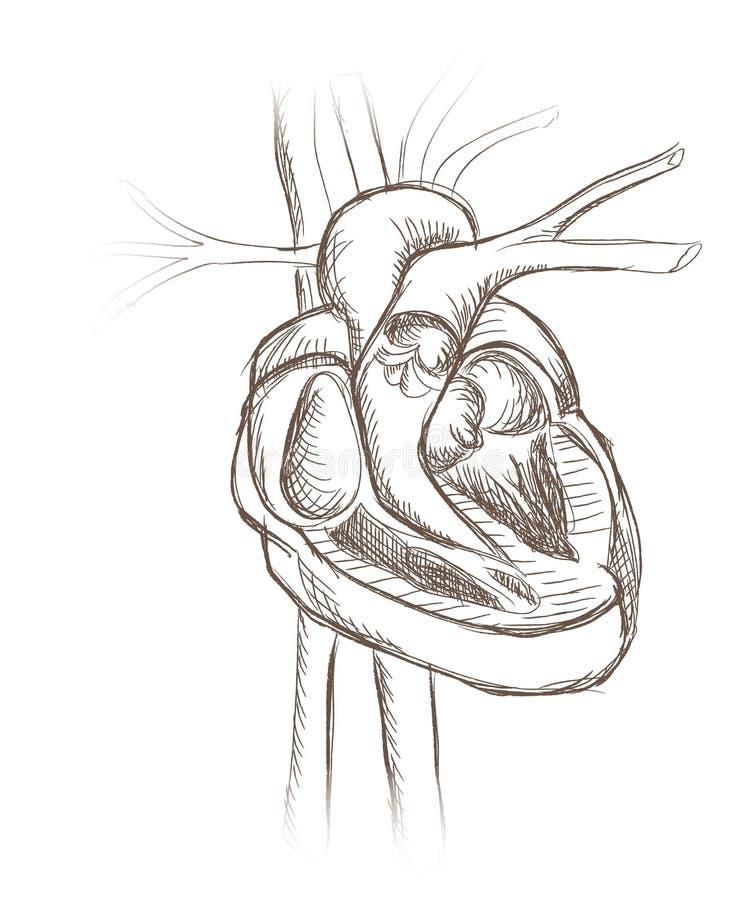 Anatomia da estrutura do coração. Seção transversal do coração. ilustração royalty free