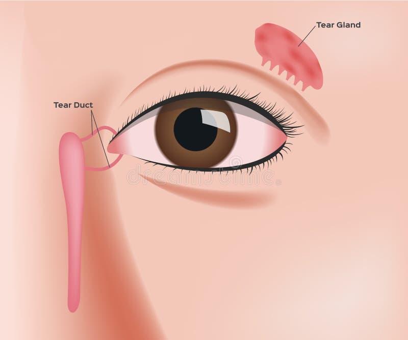 Anatomia da glândula de rasgo ilustração stock