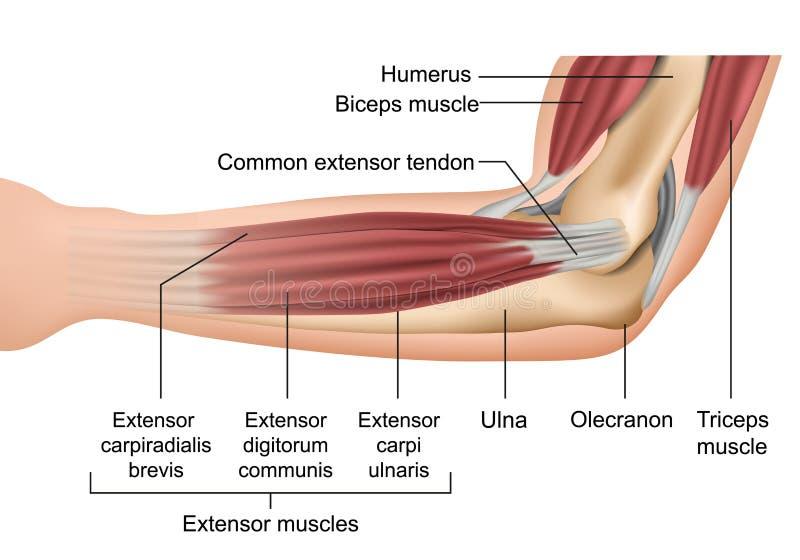 Anatomia da ilustração médica do vetor dos músculos do cotovelo ilustração do vetor