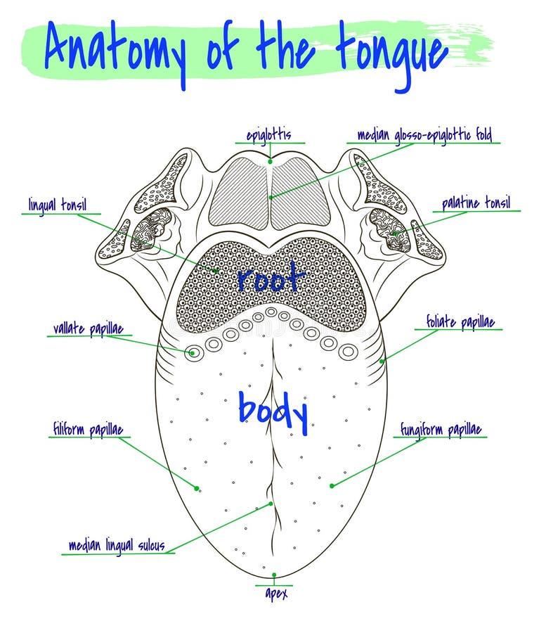 Anatomia da língua humana ilustração royalty free