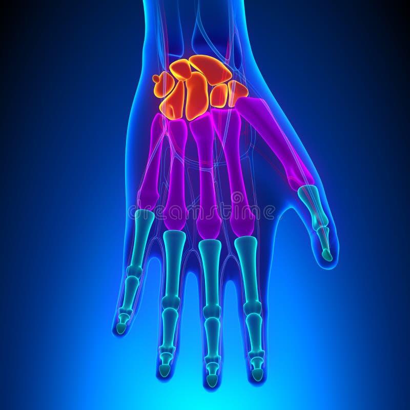 Anatomia da mão e do pulso humanos com sistema circulatório ilustração stock