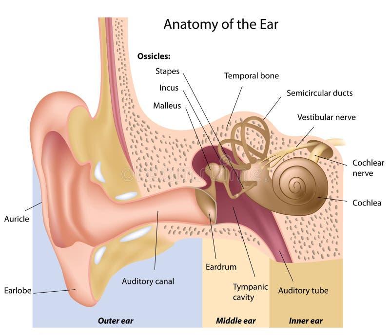 Anatomia da orelha ilustração stock