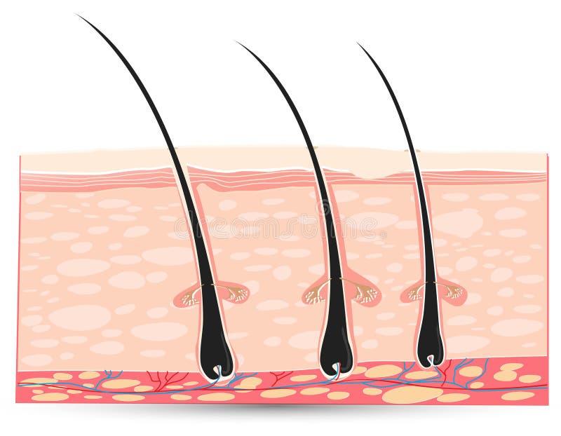 Anatomia da pele ilustração stock