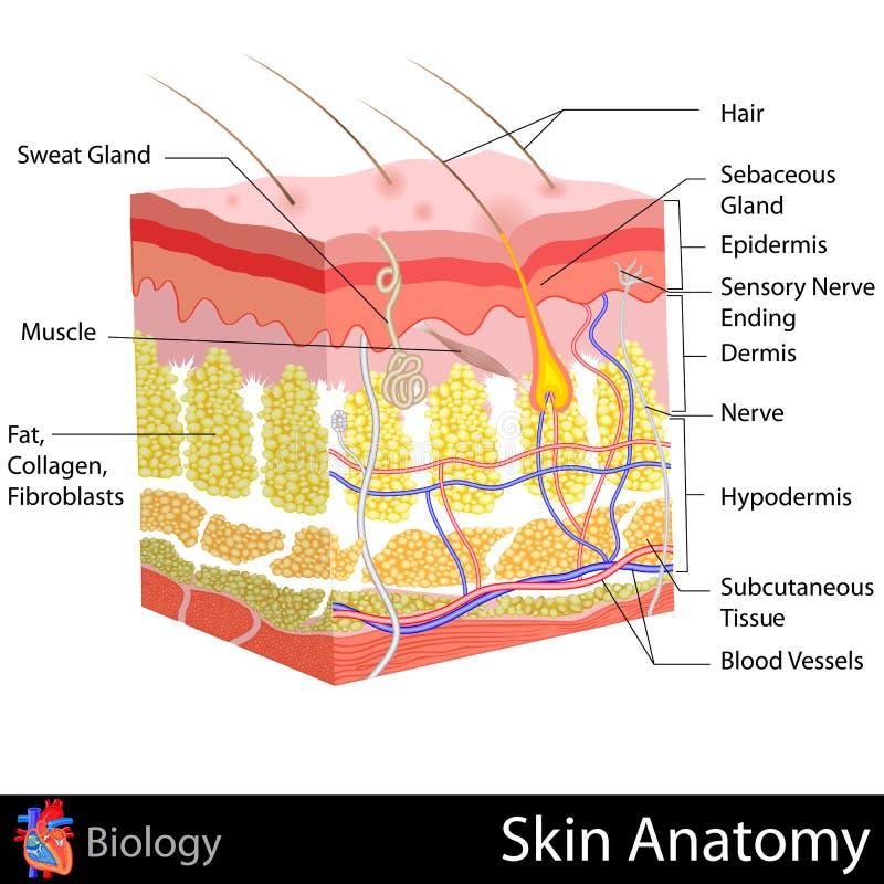 Anatomia da pele ilustração royalty free