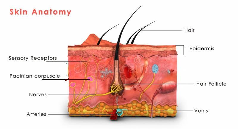 Anatomia da pele etiquetada ilustração stock
