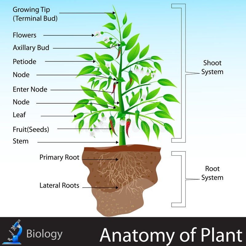 Anatomia da planta ilustração stock