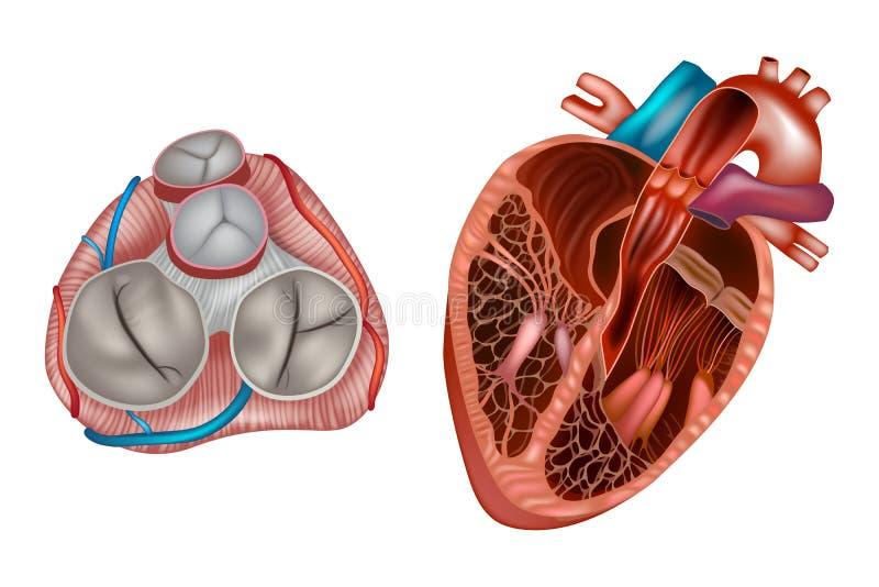 Anatomia das v?lvulas de cora??o ilustração royalty free