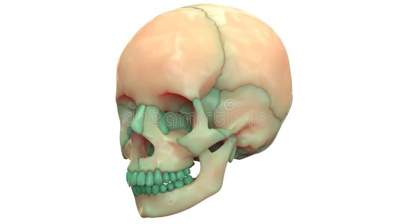 Anatomia de esqueleto humana do crânio ilustração stock