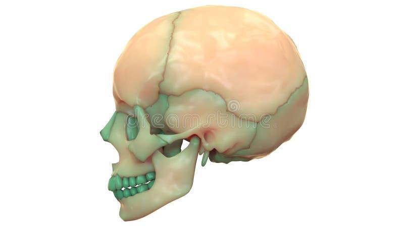 Anatomia de esqueleto humana do crânio ilustração do vetor