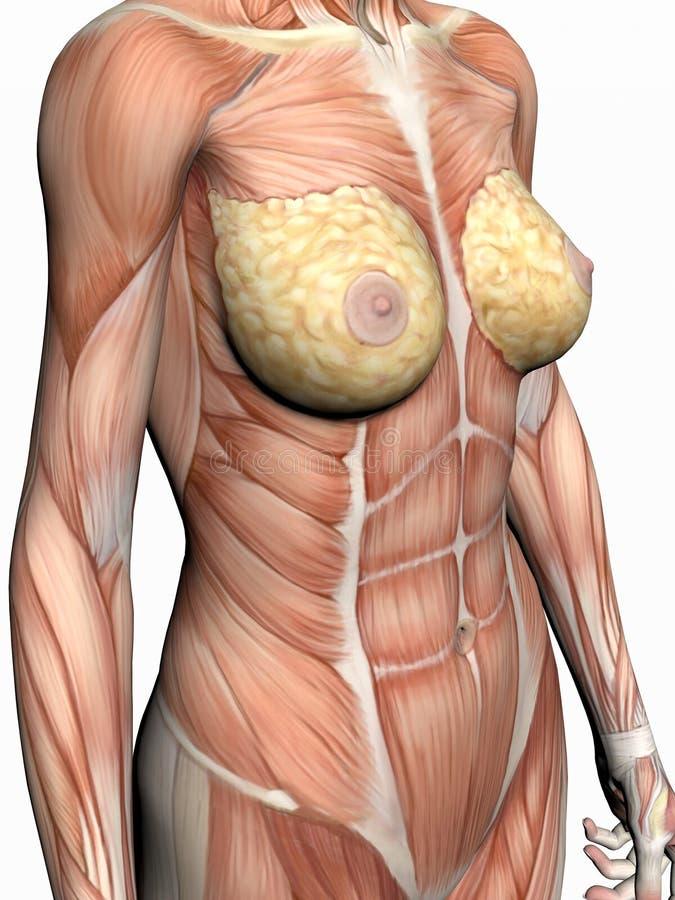 Anatomia de uma mulher. ilustração do vetor