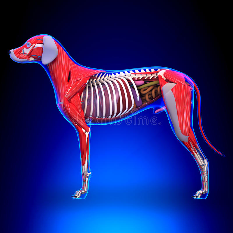 Anatomia degli organi interni del cane - anatomia di un Org interno del cane maschio illustrazione vettoriale