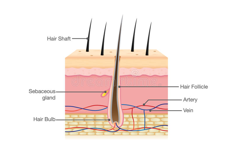 Anatomia dei capelli umani sull'isolato su illustrazione di stock