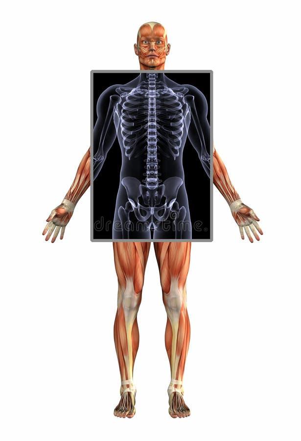 Anatomia dei muscoli con i raggi X - maschio - con il percorso di residuo della potatura meccanica royalty illustrazione gratis