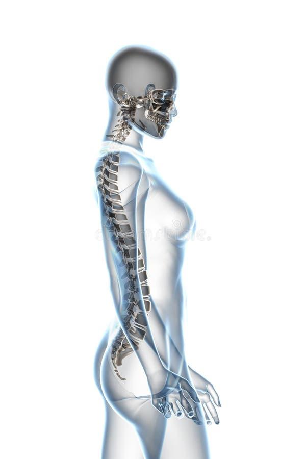 Anatomia dei raggi X su bianco illustrazione vettoriale