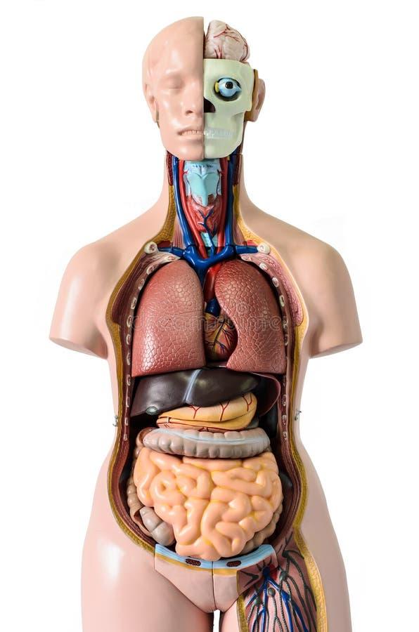 Anatomia del corpo umano immagini stock
