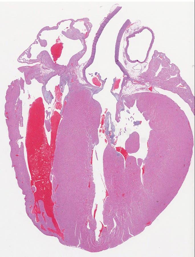 Anatomia del cuore della cavia fotografia stock libera da diritti