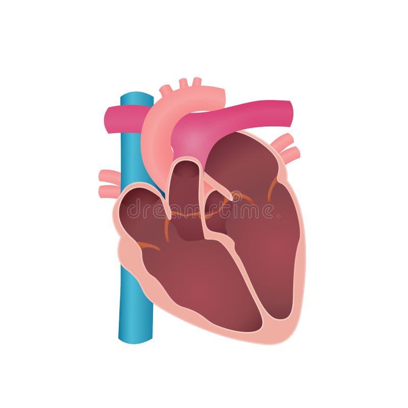 Anatomia del cuore umano illustrazione di stock