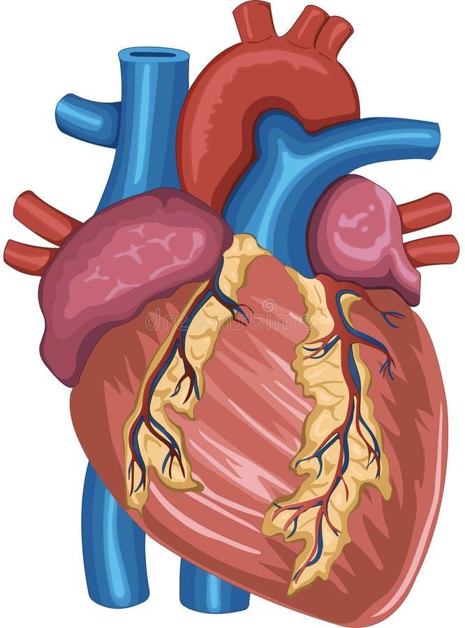 Anatomia del cuore umano dipinta digitalmente illustrazione vettoriale