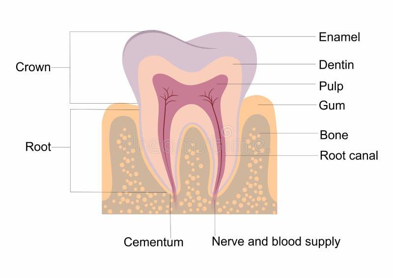 Anatomia del dente illustrazione vettoriale