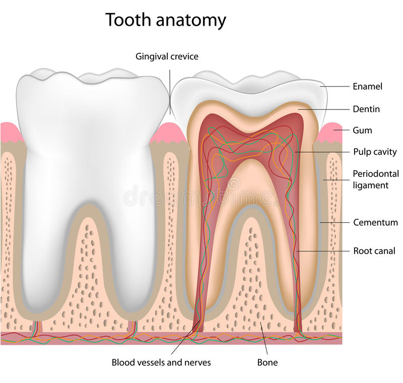 Anatomia del dente, eps8 royalty illustrazione gratis