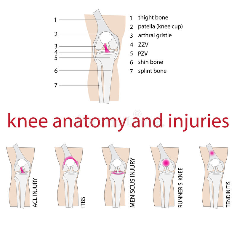 Anatomia del ginocchio illustrazione vettoriale
