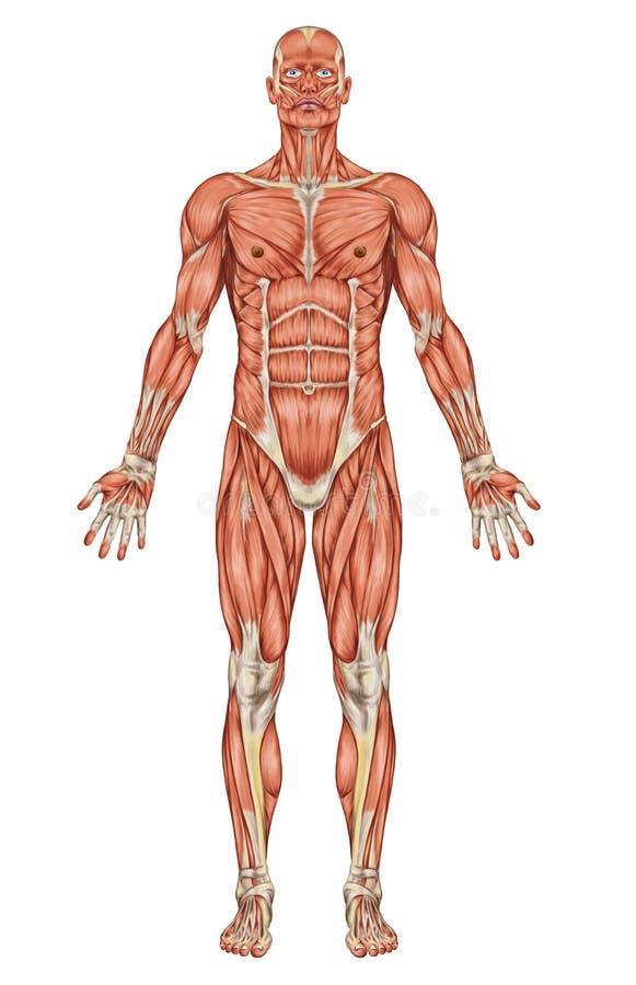 Anatomia del sistema muscolare dell'uomo royalty illustrazione gratis