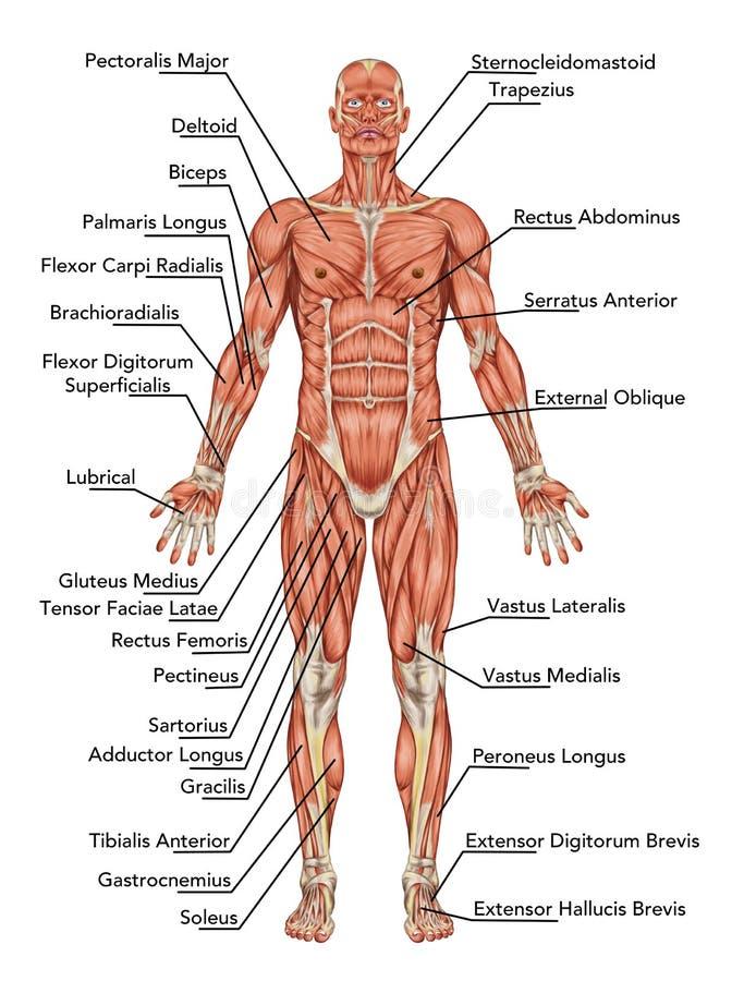 Anatomia del sistema muscolare dell'uomo illustrazione di stock