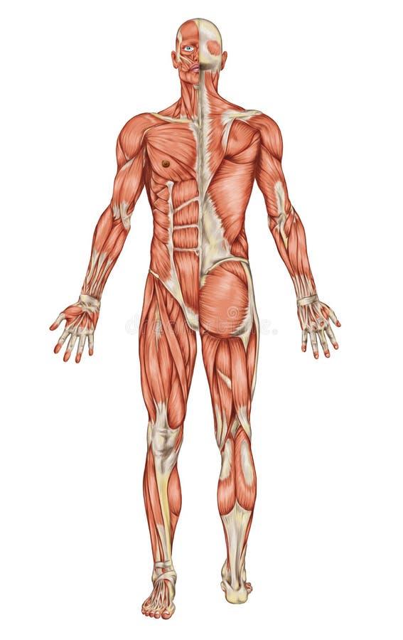 Anatomia del sistema muscolare maschio illustrazione di stock
