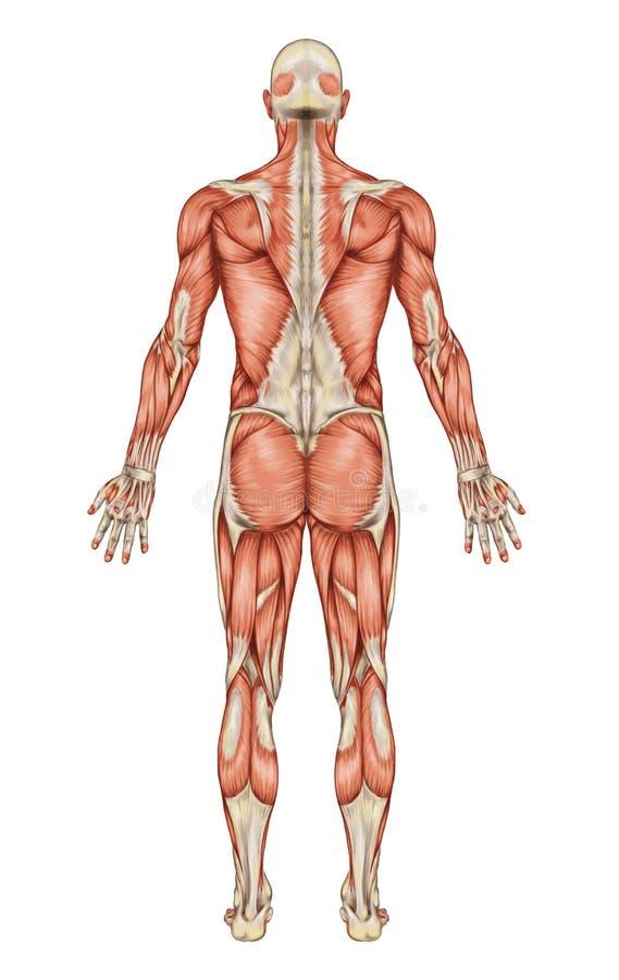 Anatomia del sistema muscolare maschio illustrazione vettoriale