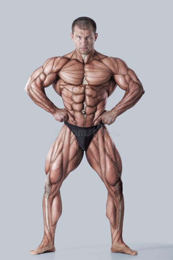 Anatomia del sistema muscolare maschio fotografia stock libera da diritti