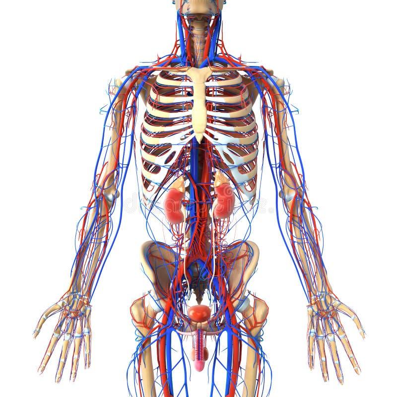 Anatomia del sistema urinario con le vene e lo scheletro royalty illustrazione gratis