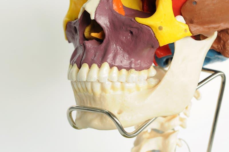 Anatomia dell'essere umano del cranio fotografia stock