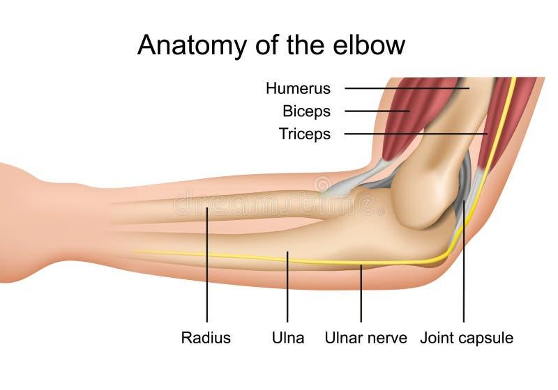 Anatomia dell'illustrazione medica di vettore del gomito con la descrizione isolata su fondo bianco royalty illustrazione gratis