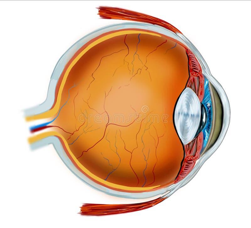 Anatomia dell'occhio illustrazione vettoriale