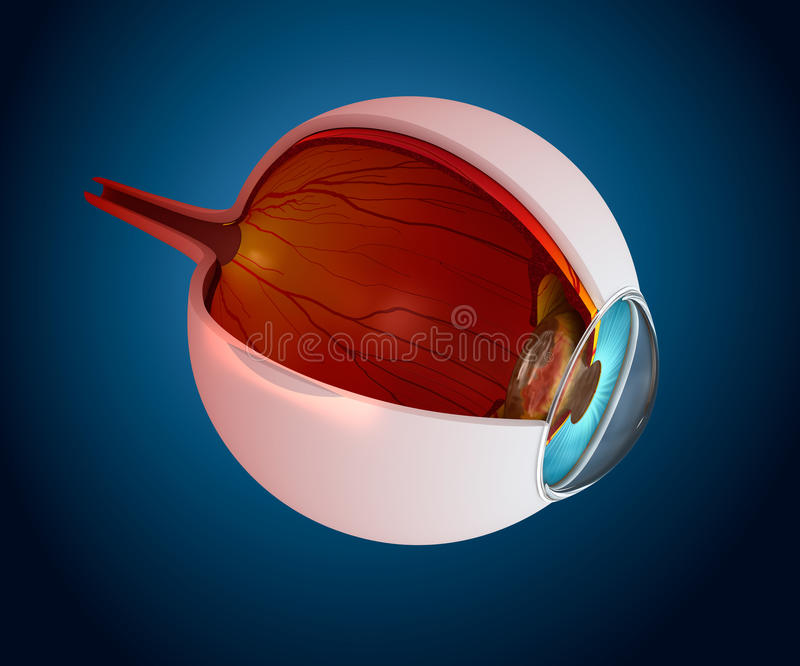 Anatomia dell'occhio - struttura interna illustrazione vettoriale