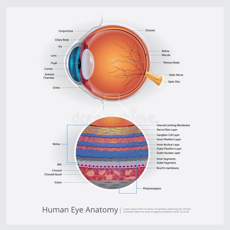 Anatomia dell'occhio umano royalty illustrazione gratis