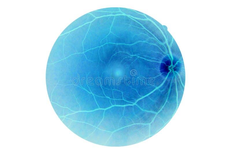 Anatomia dell'occhio umano, retina immagini stock