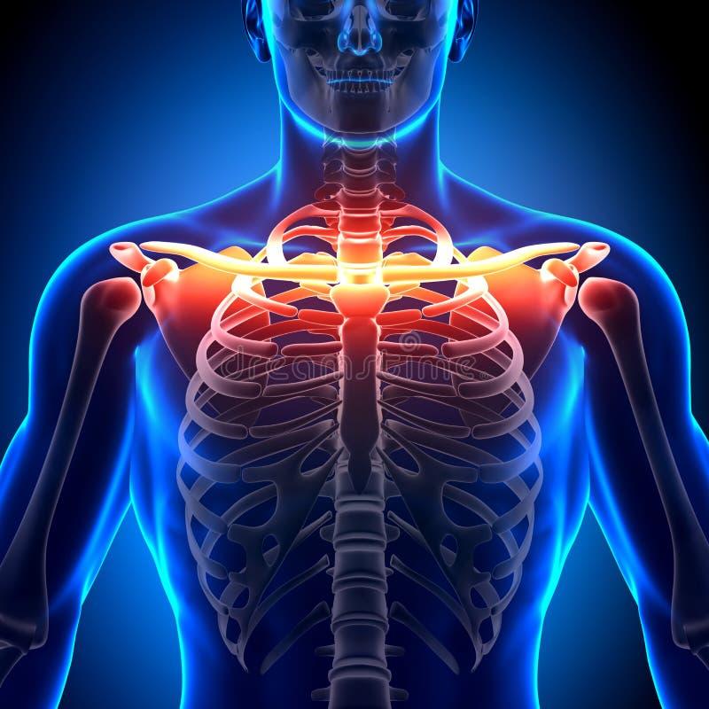 Anatomia dell'osso della clavicola - ossa di anatomia illustrazione di stock