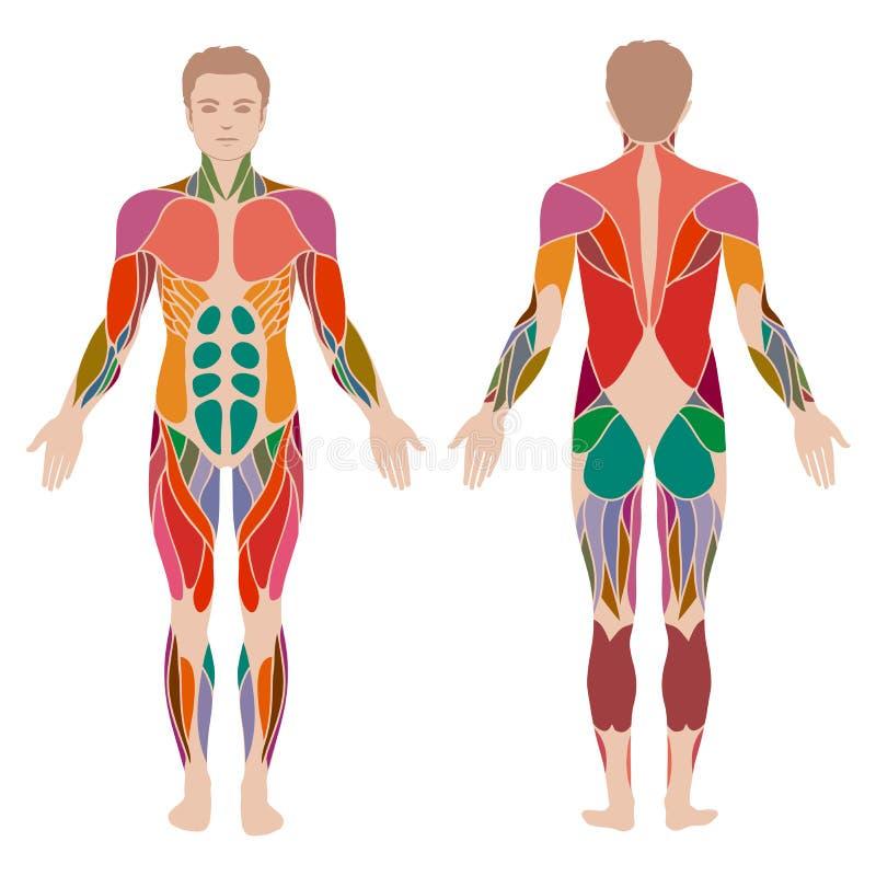 anatomia dell'uomo del muscolo, illustrazione vettoriale