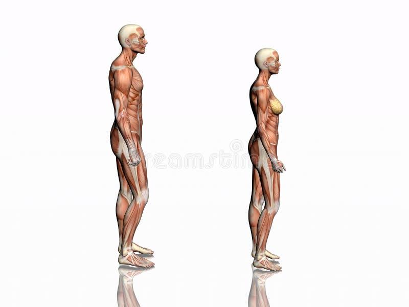 Anatomia dell'uomo e della donna. illustrazione vettoriale