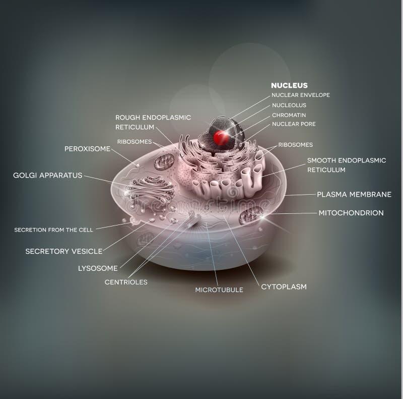 Anatomia della cellula umana illustrazione di stock