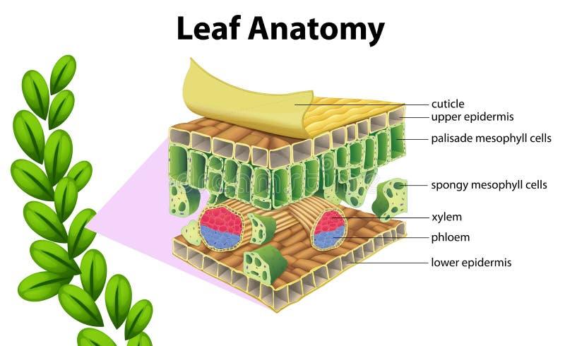 Anatomia della foglia illustrazione di stock