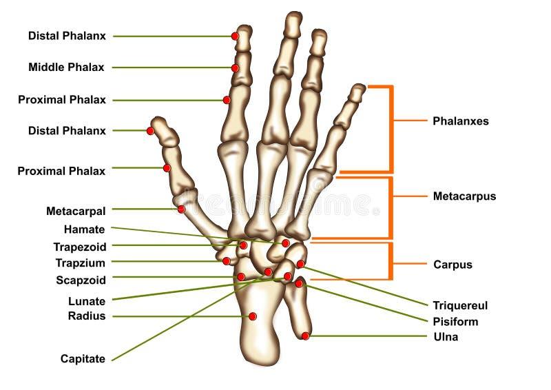 Anatomia della mano isolata illustrazione vettoriale