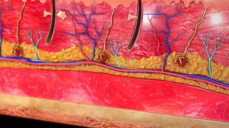 Anatomia della pelle immagini stock