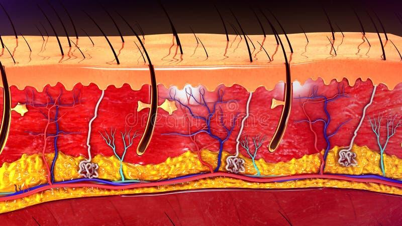 Anatomia della pelle fotografia stock